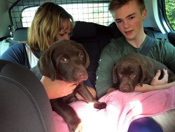 Two chocolate labrador puppies on their way by car to their new home
